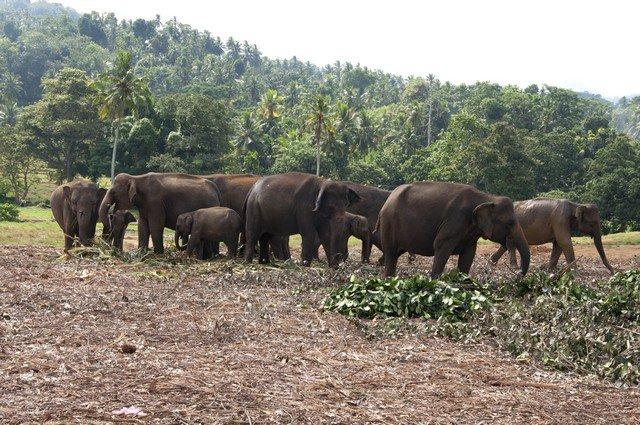 Слоновий питомник Шри-Ланка