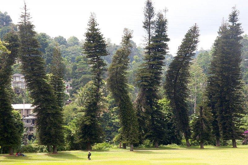 Шри-Ланка, ботанический сад, пьяные ёлки